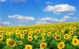 Beautiful sunflower close-up wallpaper (2) #60672