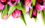 Tulip wallpaper album (9) #4