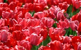 Tulip wallpaper album (9) #9