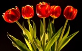 Tulip wallpaper album (9) #11