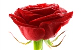Large Rose Photo Wallpaper (6) #6