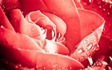 Large Rose Photo Wallpaper (6) #19
