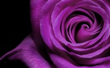 Large Rose Photo Wallpaper (6) #20