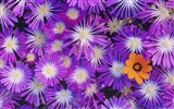 Widescreen wallpaper flowers close-up (14) #5