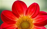 Widescreen wallpaper flowers close-up (16)