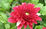 Dahlia flowers HD wallpaper (1)