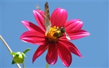 Dahlia flowers HD wallpaper (2)