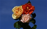 Rose Photo Wallpaper (6) #7