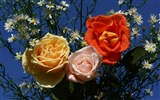Rose Photo Wallpaper (6) #8
