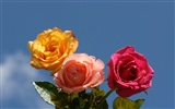 Rose Photo Wallpaper (6) #10
