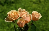 Rose Photo Wallpaper (6) #16