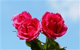 Rose Photo Wallpaper (6) #18