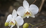 Orchid wallpaper photo (1)