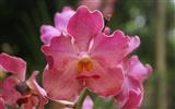 Orchid wallpaper photo (2)