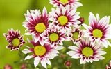 Widescreen wallpaper flowers close-up (32)