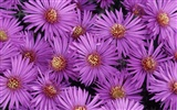 Widescreen wallpaper flowers close-up (32) #8