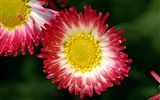 Daisies flowers close-up HD wallpapers #6