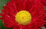 Daisies flowers close-up HD wallpapers #10