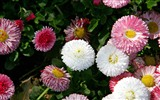 Daisies flowers close-up HD wallpapers #14