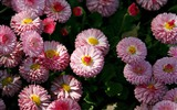 Daisies flowers close-up HD wallpapers #16