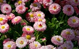 Daisies flowers close-up HD wallpapers #17