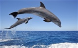 Windows 8 theme wallpaper: elegant dolphins