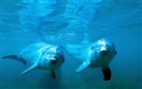 Windows 8 tema wallpaper: delfines elegantes #2