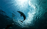 Windows 8 tema wallpaper: delfines elegantes #5