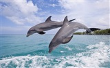 Windows 8 tema wallpaper: delfines elegantes #6