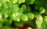 Adiantum verde plantas HD wallpapers