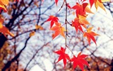 8.1 de Windows Theme HD wallpapers: hermosas hojas de otoño