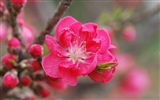Pink peach flowers HD wallpaper
