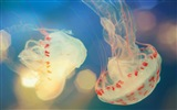 Windows 8 theme wallpaper, jellyfish