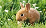 Furry animals, cute bunny HD wallpapers