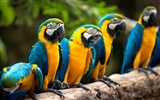 Macaw close-up HD wallpapers