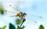 Insect close-up, dragonfly HD wallpapers