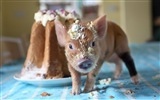 Pig Year about pigs HD wallpapers #6